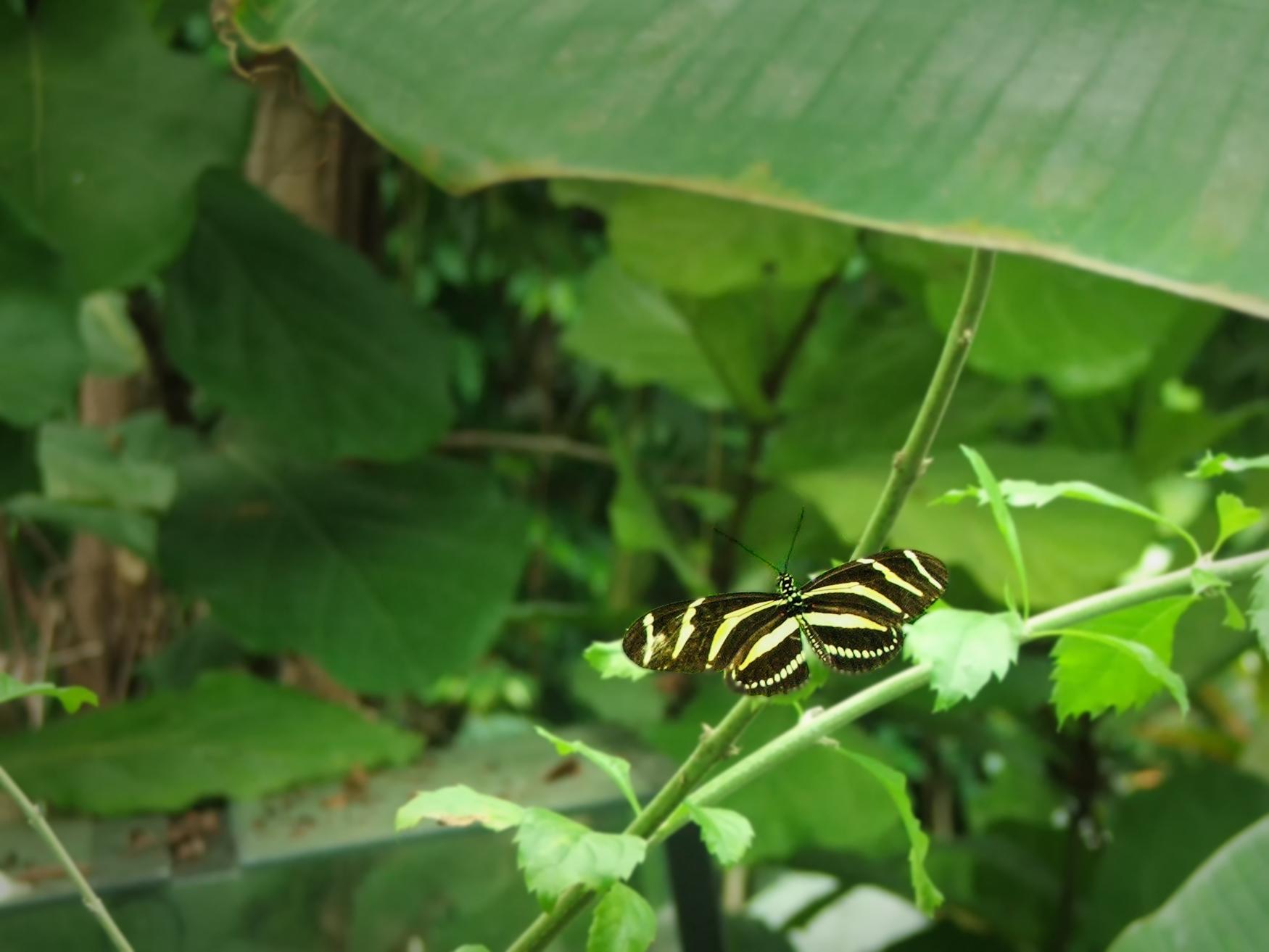 mariposa Manu_amarilla y negra